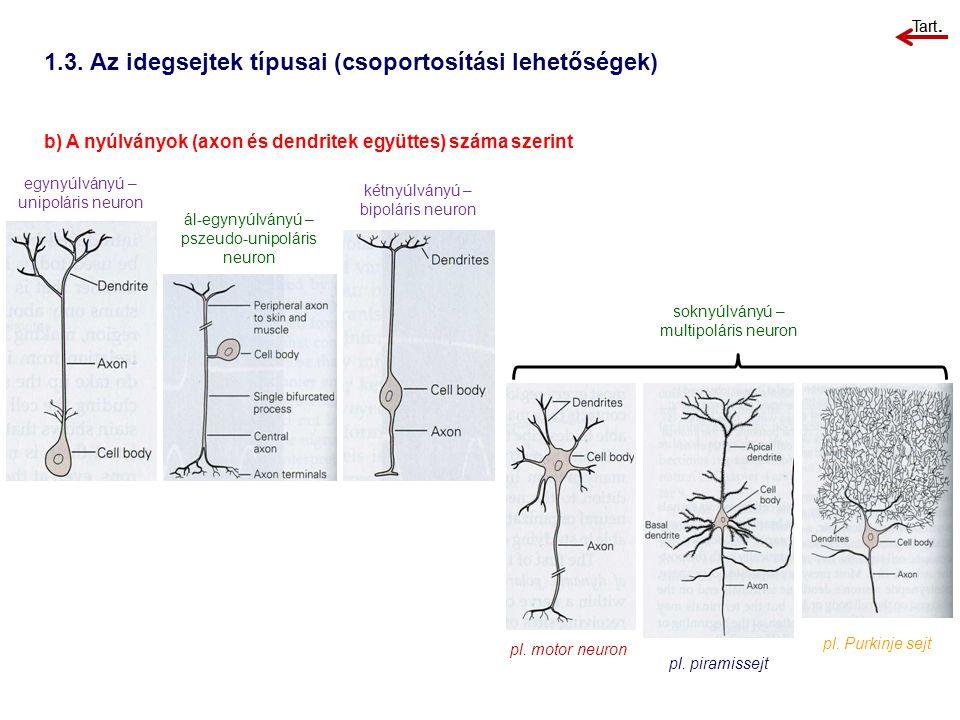 1.3. Az idegsejtek típusai (csoportosítási lehetőségek) b) A nyúlványok (axon és dendritek együttes) száma szerint egynyúlványú – unipoláris neuron ál
