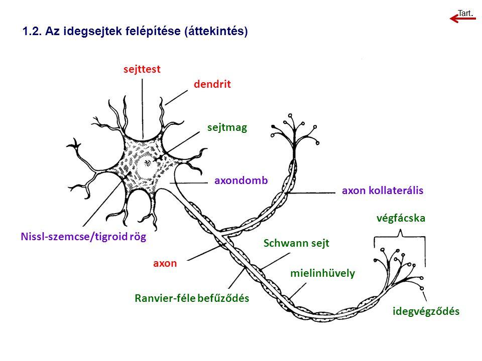 1.2. Az idegsejtek felépítése (áttekintés) sejttest dendrit sejtmag axondomb Nissl-szemcse/tigroid rög axon Ranvier-féle befűződés axon kollaterális S