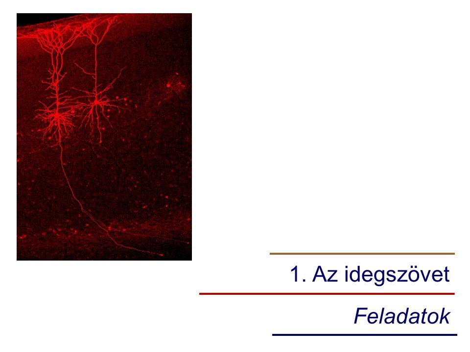 1. Az idegszövet Feladatok