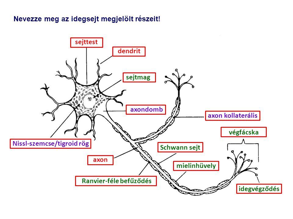 Nevezze meg az idegsejt megjelölt részeit.