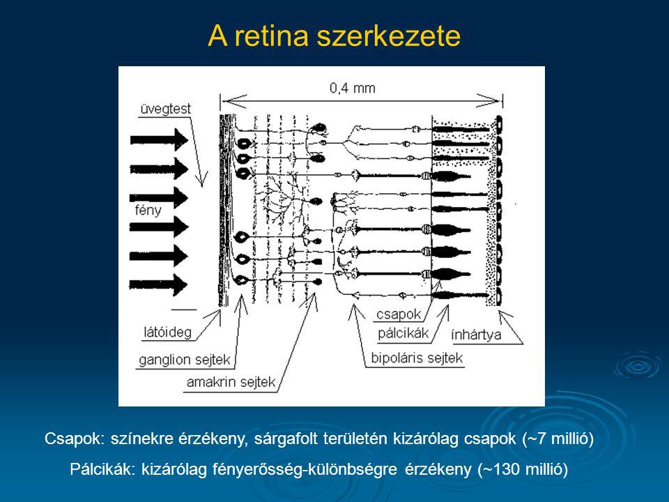 A retina szerkezete Csapok: színekre érzékeny, sárgafolt területén kizárólag csapok (~7 millió) Pálcikák: kizárólag fényerősség-különbségre érzékeny (