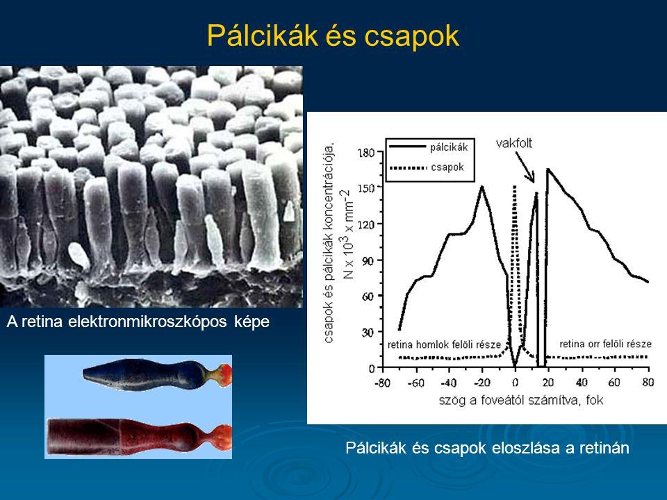 Pálcikák és csapok A retina elektronmikroszkópos képe Pálcikák és csapok eloszlása a retinán