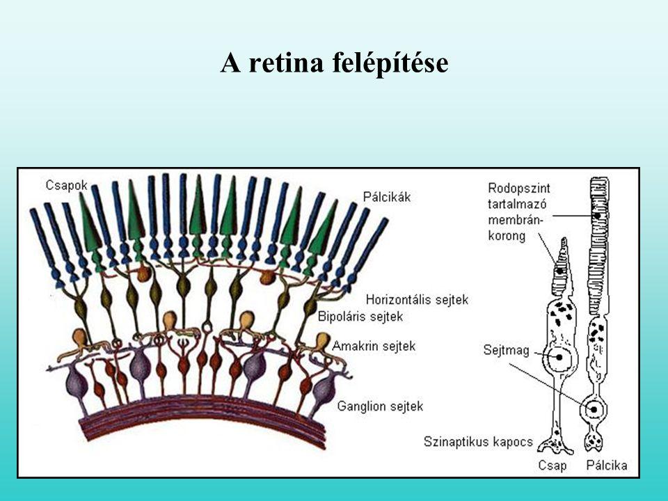 A retina felépítése
