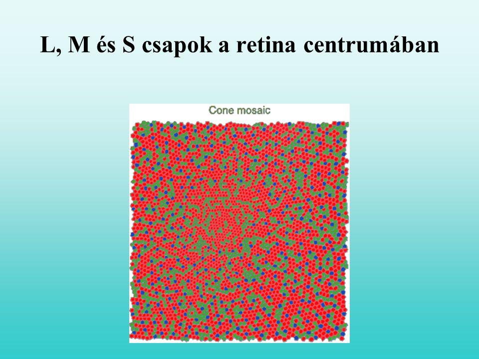 L, M és S csapok a retina centrumában