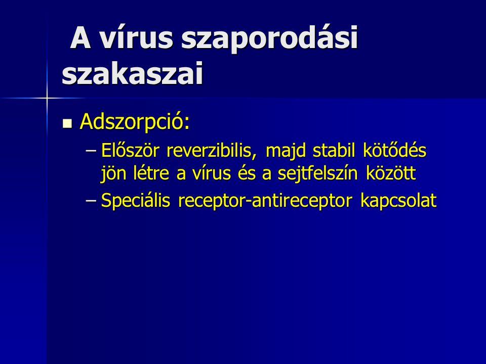 A vírus szaporodási szakaszai A vírus szaporodási szakaszai Adszorpció: Adszorpció: –Először reverzibilis, majd stabil kötődés jön létre a vírus és a