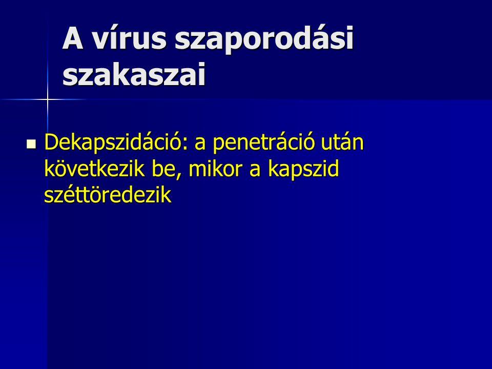 A vírus szaporodási szakaszai Dekapszidáció: a penetráció után következik be, mikor a kapszid széttöredezik Dekapszidáció: a penetráció után következi