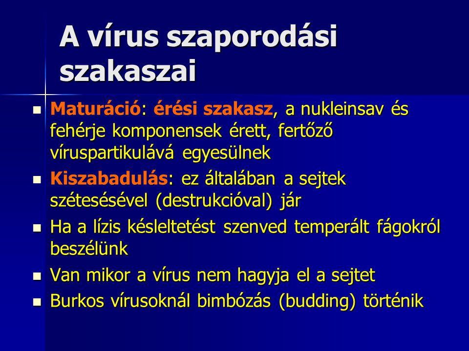 A vírus szaporodási szakaszai :, a nukleinsav és fehérje komponensek érett, fertőző víruspartikulává egyesülnek Maturáció: érési szakasz, a nukleinsav