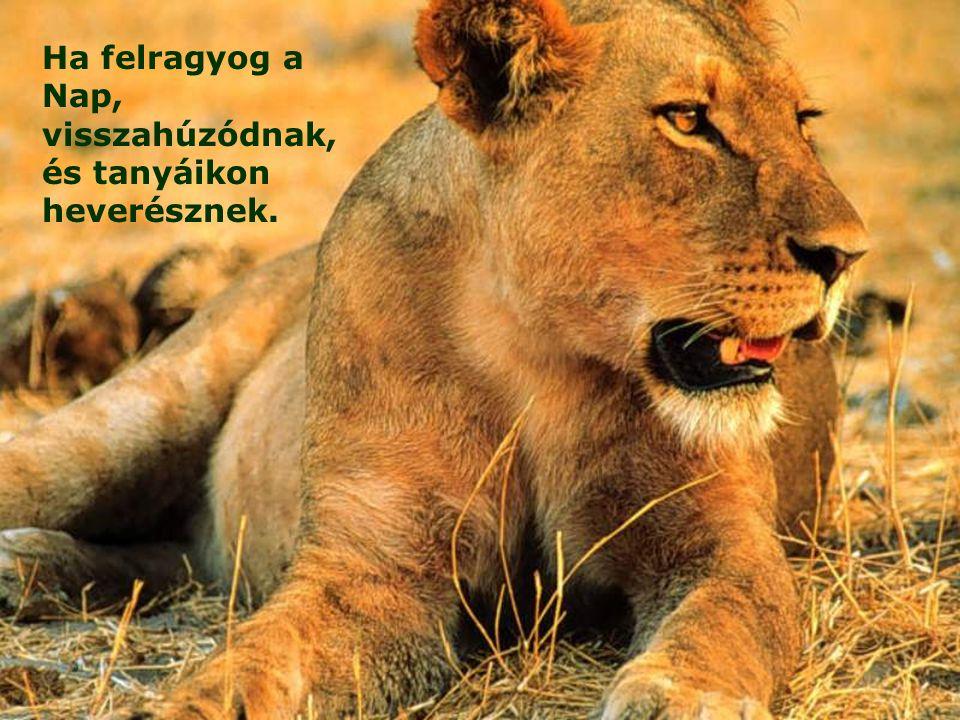 Az oroszlánok zsákmányért ordítanak, sürgetve Istentől eledelüket.