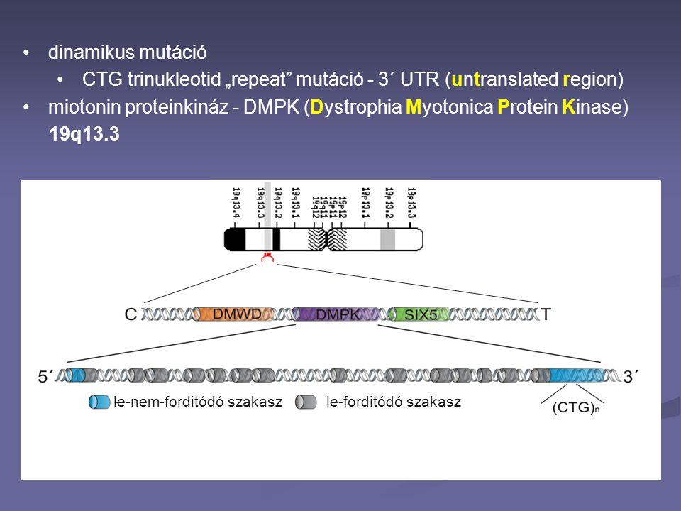 "dinamikus mutáció CTG trinukleotid ""repeat"" mutáció - 3´ UTR (untranslated region) miotonin proteinkináz - DMPK (Dystrophia Myotonica Protein Kinase)"