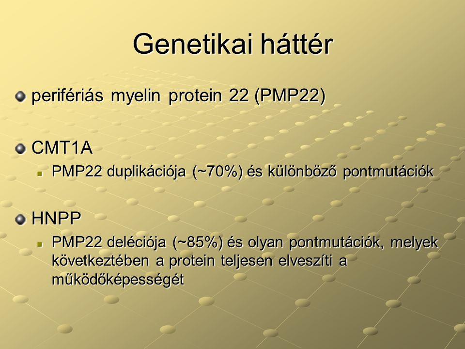 Genetikai háttér perifériás myelin protein 22 (PMP22) CMT1A PMP22 duplikációja (~70%) és különböző pontmutációk PMP22 duplikációja (~70%) és különböző