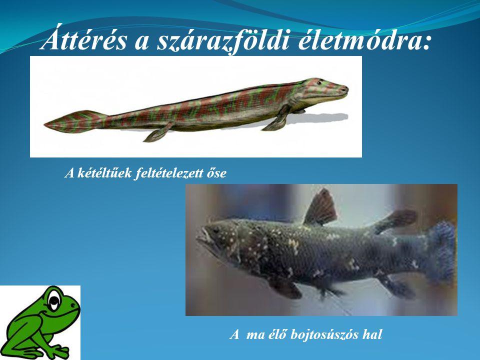 Áttérés a szárazföldi életmódra: A kétéltűek feltételezett őse A ma élő bojtosúszós hal