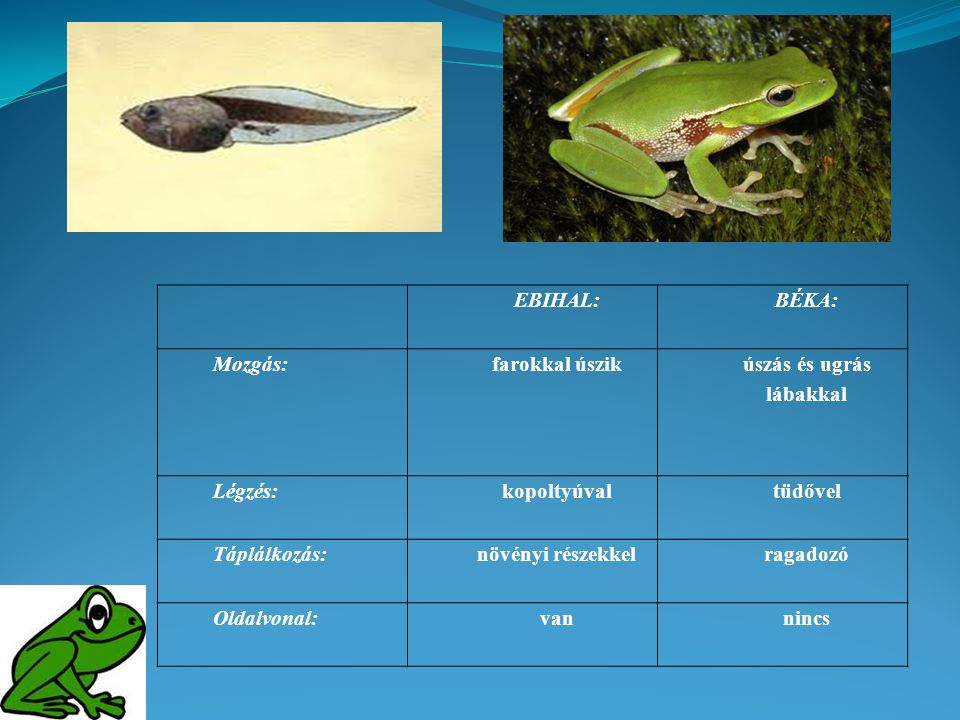 EBIHAL:BÉKA: Mozgás:farokkal úszik úszás és ugrás lábakkal Légzés:kopoltyúvaltüdővel Táplálkozás:növényi részekkelragadozó Oldalvonal:vannincs
