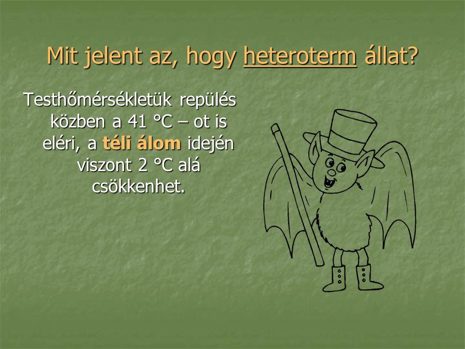 Mit jelent az, hogy heteroterm állat? Testhőmérsékletük repülés közben a 41 °C – ot is eléri, a téli álom idején viszont 2 °C alá csökkenhet.