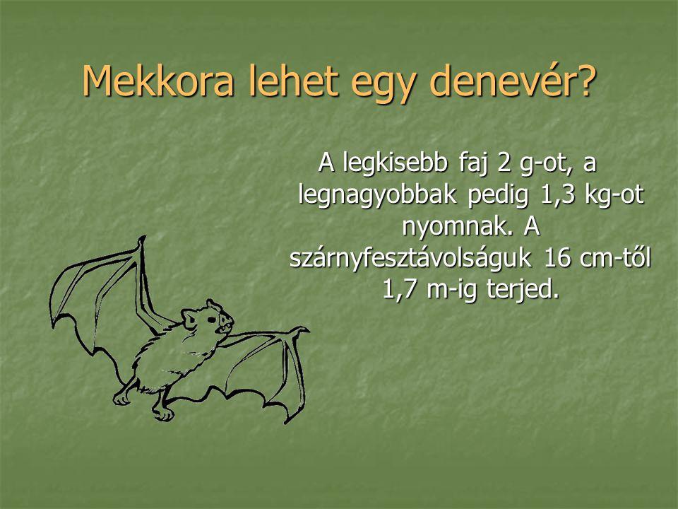 Mekkora lehet egy denevér? A legkisebb faj 2 g-ot, a legnagyobbak pedig 1,3 kg-ot nyomnak. A szárnyfesztávolságuk 16 cm-től 1,7 m-ig terjed.