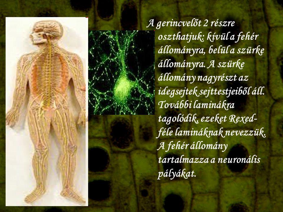 A gerincvelőt 2 részre oszthatjuk: kívül a fehér állományra, belül a szürke állományra. A szürke állomány nagyrészt az idegsejtek sejttestjeiből áll.