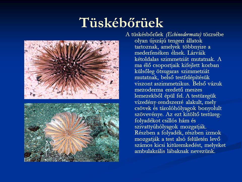Ide tartoznak Ma élő osztályaik : - Tengerililiomok (Crinoidea) osztálya - Tengericsillagok (Asteroidea) osztálya - Kígyókarúak (Ophiuroidea) osztálya - Tengerisünök (Echinoidea) osztálya - Tengeriuborkák (Holothuroidea) osztálya