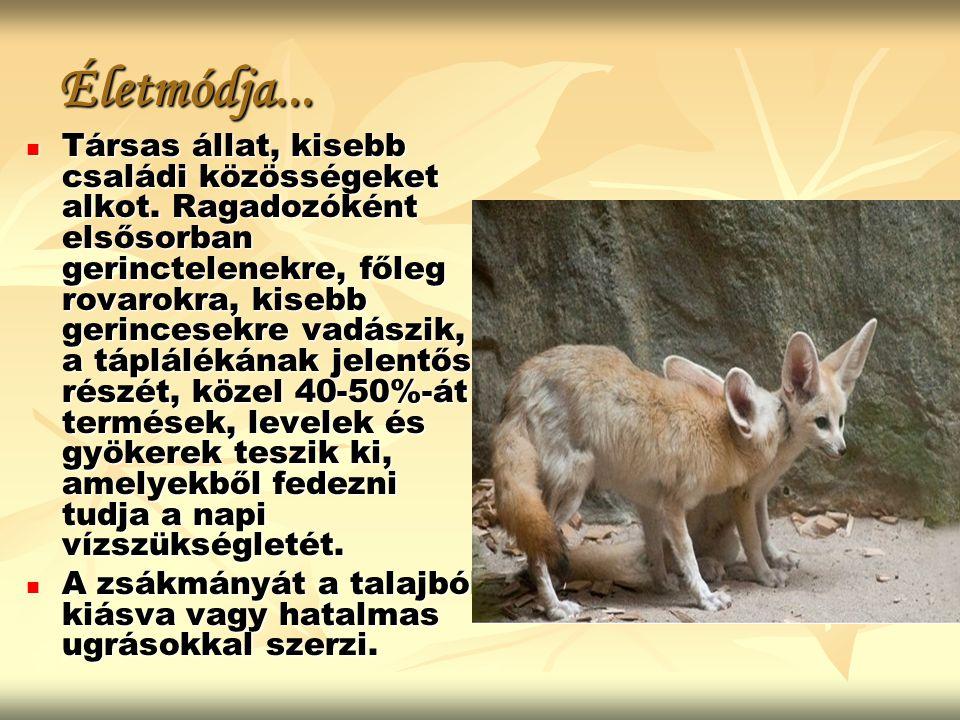 Életmódja... Társas állat, kisebb családi közösségeket alkot. Ragadozóként elsősorban gerinctelenekre, főleg rovarokra, kisebb gerincesekre vadászik,