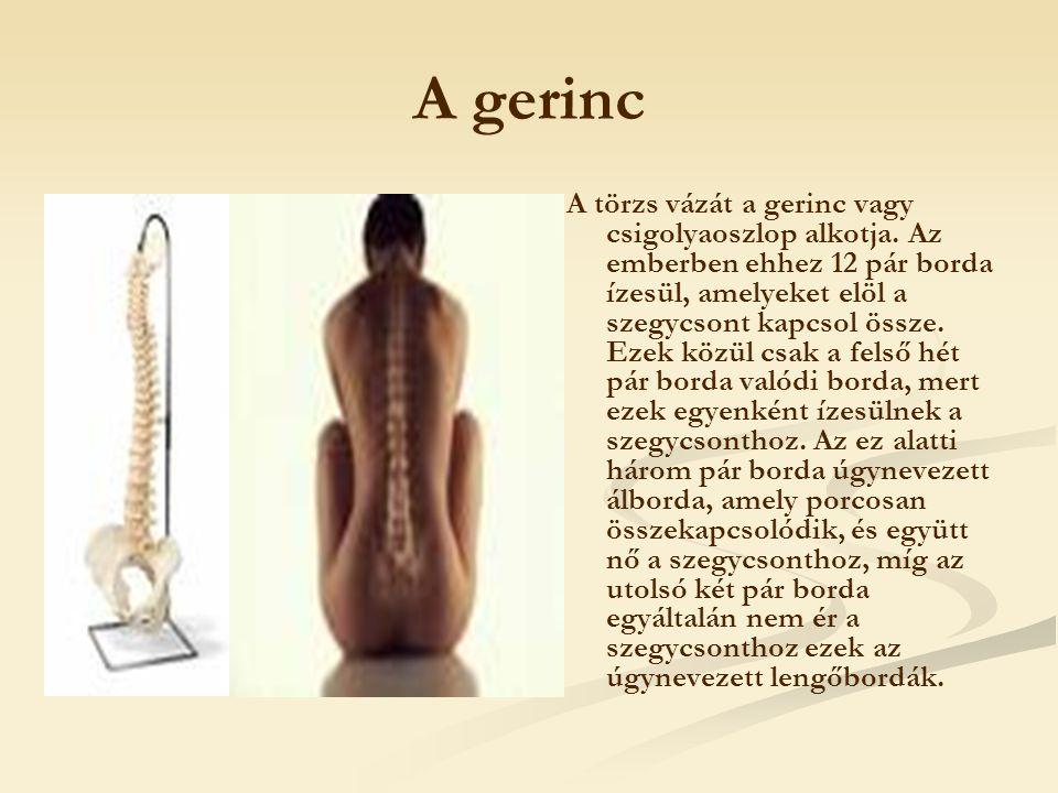 A törzs vázát a gerinc vagy csigolyaoszlop alkotja. Az emberben ehhez 12 pár borda ízesül, amelyeket elöl a szegycsont kapcsol össze. Ezek közül csak