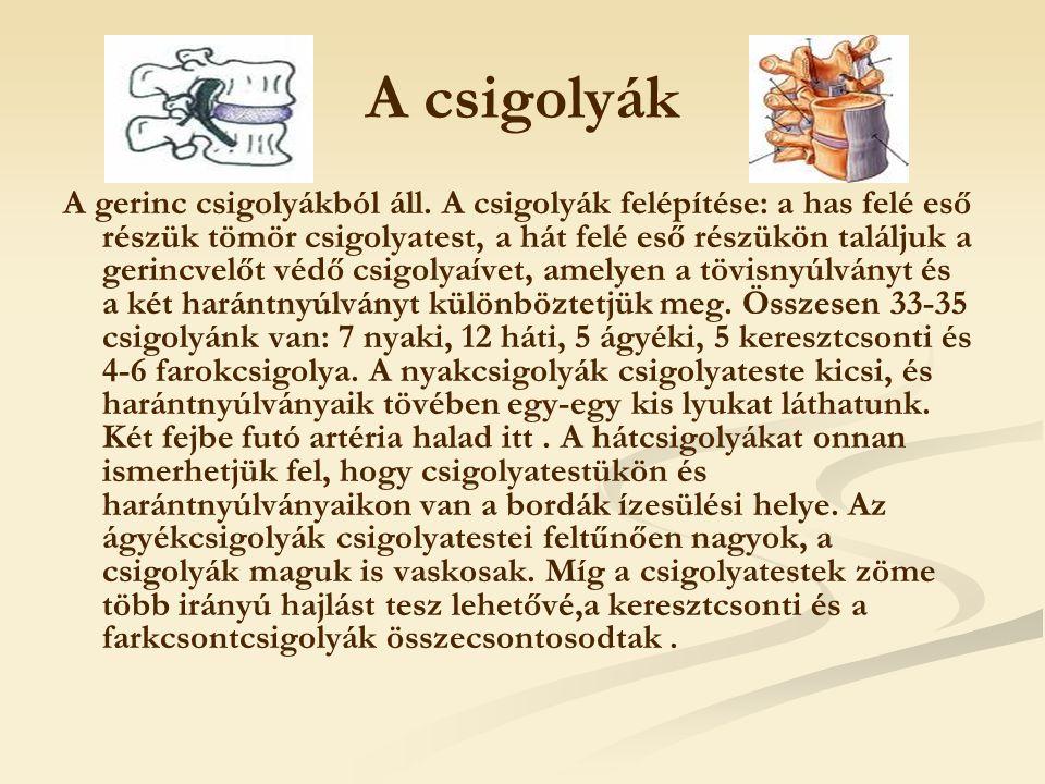 A csigolyák A gerinc csigolyákból áll. A csigolyák felépítése: a has felé eső részük tömör csigolyatest, a hát felé eső részükön találjuk a gerincvelő