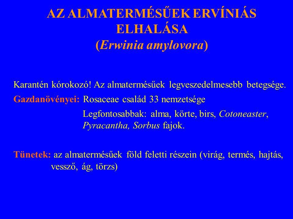 AZ ALMATERMÉSŰEK ERVÍNIÁS ELHALÁSA (Erwinia amylovora) Karantén kórokozó! Az almatermésűek legveszedelmesebb betegsége. Gazdanövényei: Rosaceae család