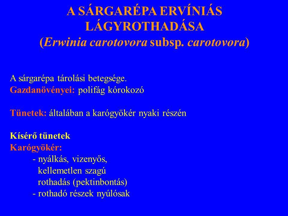 A SÁRGARÉPA ERVÍNIÁS LÁGYROTHADÁSA (Erwinia carotovora subsp. carotovora) A sárgarépa tárolási betegsége. Gazdanövényei: polifág kórokozó Tünetek: ált
