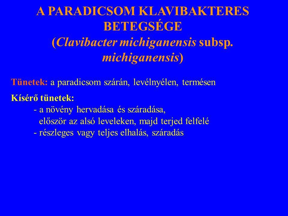 A PARADICSOM KLAVIBAKTERES BETEGSÉGE (Clavibacter michiganensis subsp. michiganensis) Tünetek: a paradicsom szárán, levélnyélen, termésen Kísérő tünet