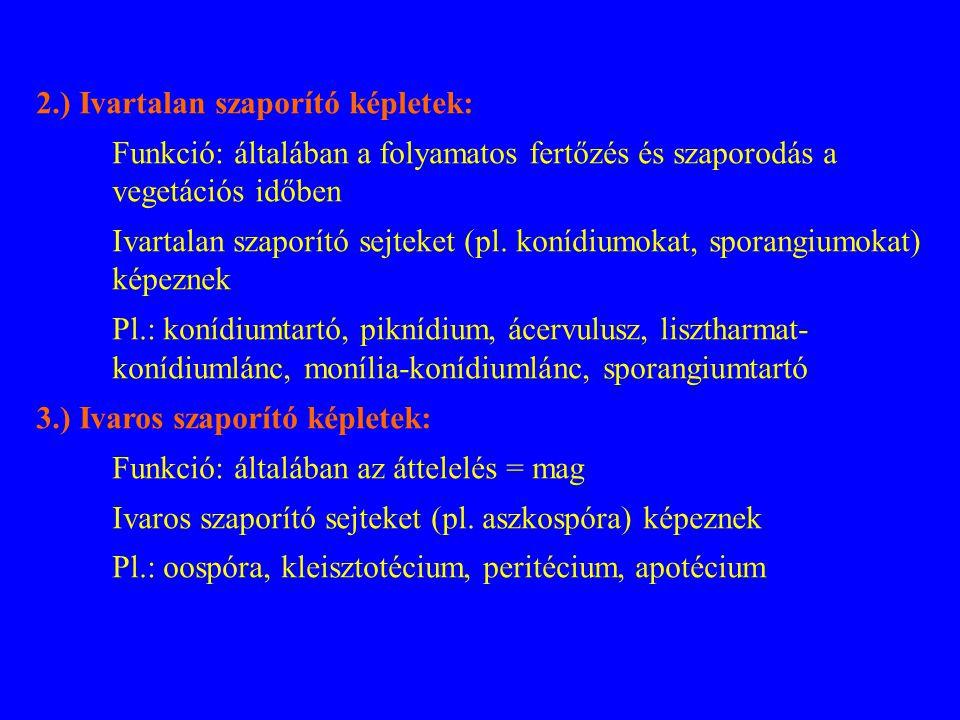 2.) Ivartalan szaporító képletek: Funkció: általában a folyamatos fertőzés és szaporodás a vegetációs időben Ivartalan szaporító sejteket (pl. konídiu