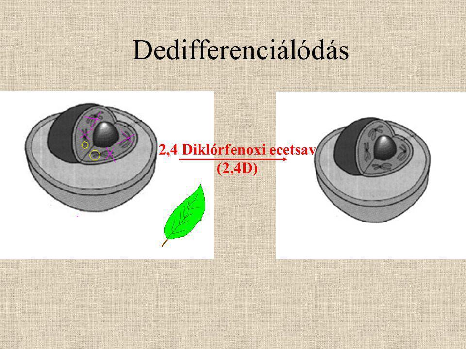 Dedifferenciálódás  kallusz: differenciálatlan osztódó sejtek tömege