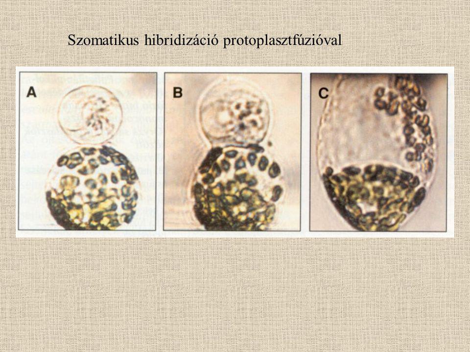 Szomatikus hibridizáció protoplasztfúzióval