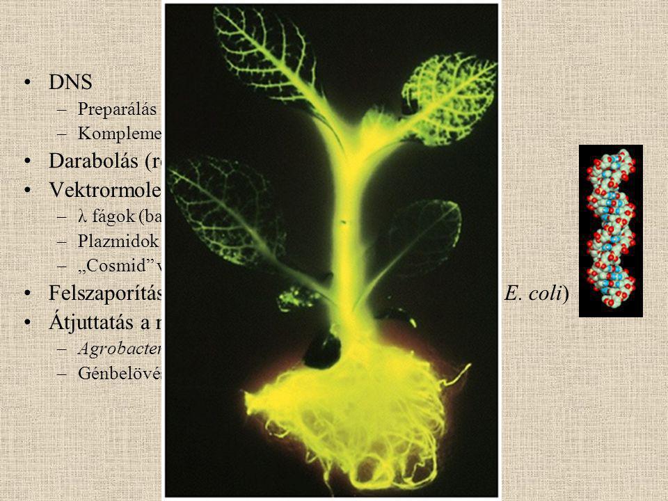"""DNS –Preparálás –Komplementer DNS (cDNS) készítés Darabolás (restrikciós endonukleázok) Vektrormolekulák –λ fágok (baktérium vírusok) –Plazmidok –""""Cosmid vektorok Felszaporítás és fenntartás baktériumsejtekben (pl."""