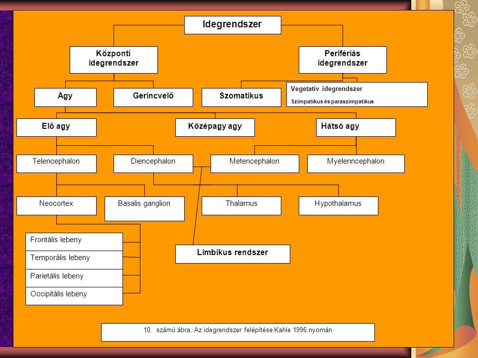 oipoőlőp Idegrendszer Központi idegrendszer Perifériás idegrendszer AgyGerincvelőSzomatikus Vegetatív idegrendszer Szimpatikus és paraszimpatikus Elő agyKözépagy agyHátsó agy TelencephalonDiencephalonMetencephalonMyelenncephalon NeocortexBasalis ganglionThalamusHypothalamus Temporális lebeny Frontális lebeny Occipitális lebeny Parietális lebeny Limbikus rendszer 10.