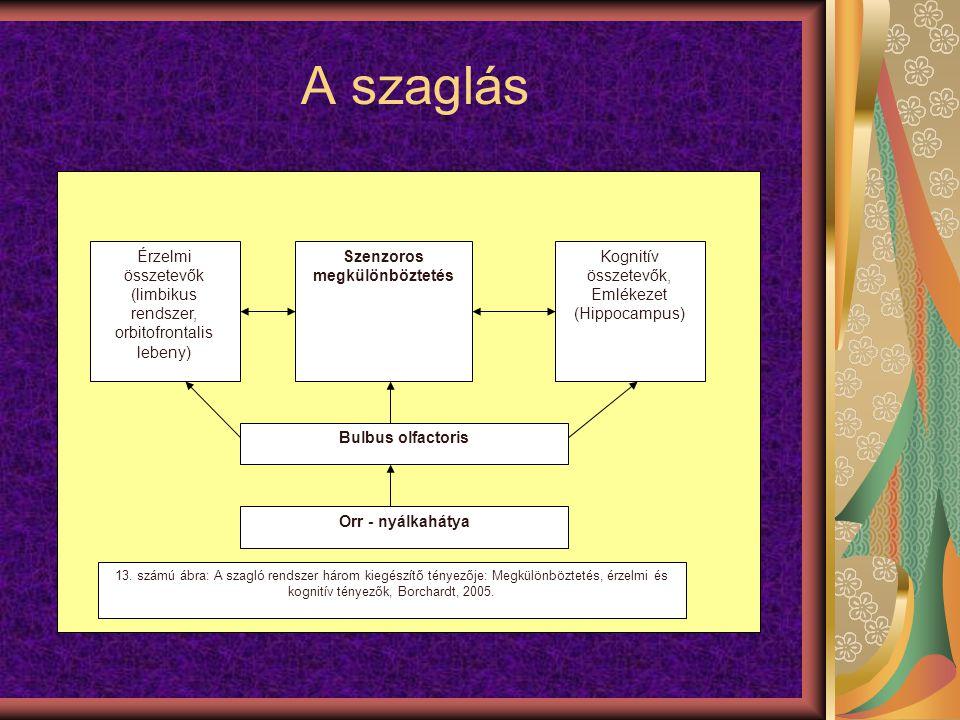 A szaglás Érzelmi összetevők (limbikus rendszer, orbitofrontalis lebeny) Szenzoros megkülönböztetés Kognitív összetevők, Emlékezet (Hippocampus) Bulbu