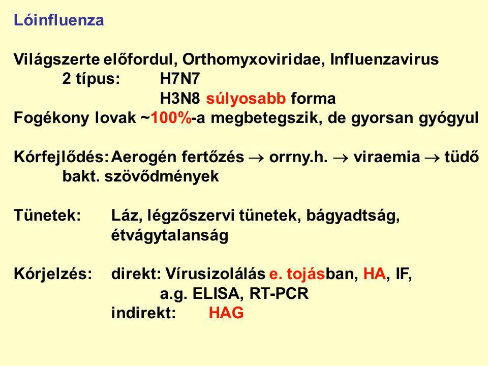 Lóinfluenza Világszerte előfordul, Orthomyxoviridae, Influenzavirus 2 típus:H7N7 H3N8 súlyosabb forma Fogékony lovak ~100%-a megbetegszik, de gyorsan