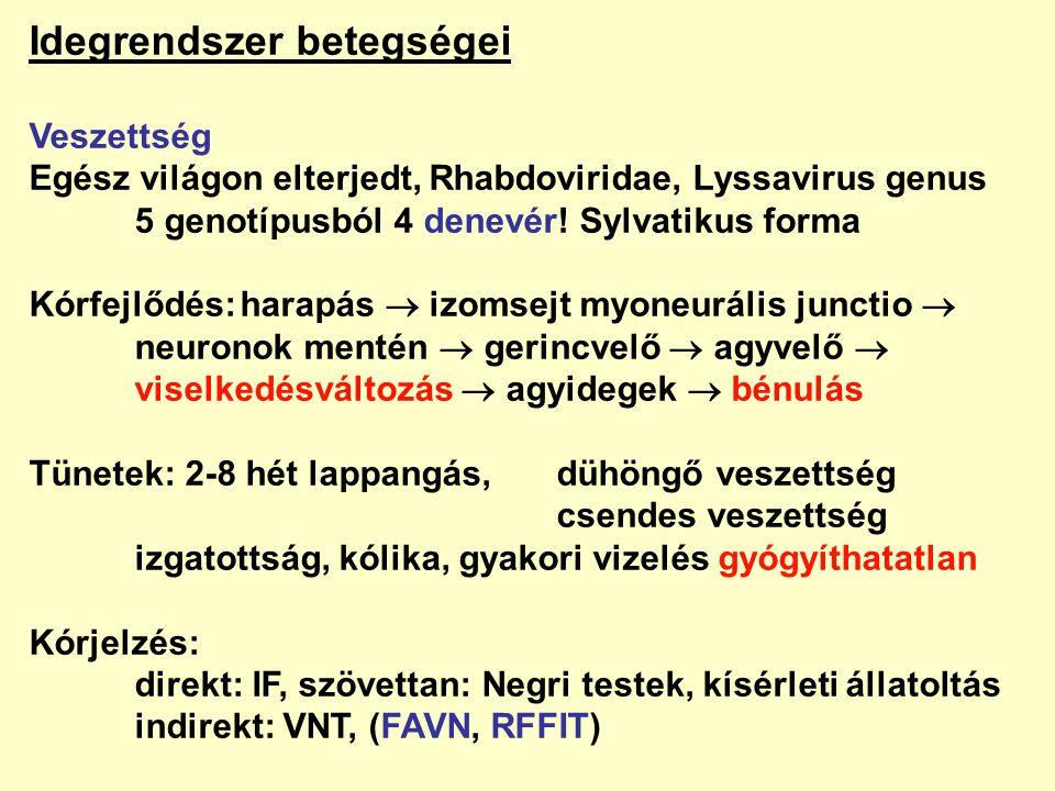 Idegrendszer betegségei Veszettség Egész világon elterjedt, Rhabdoviridae, Lyssavirus genus 5 genotípusból 4 denevér! Sylvatikus forma Kórfejlődés:har