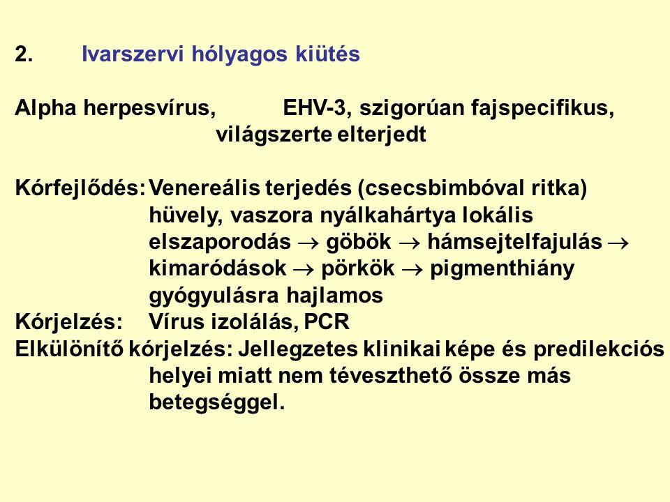 2.Ivarszervi hólyagos kiütés Alpha herpesvírus,EHV-3, szigorúan fajspecifikus, világszerte elterjedt Kórfejlődés:Venereális terjedés (csecsbimbóval ri