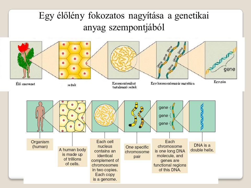 Az eukarióta sejt felépítése sejtmag Sejtmagvacska: rRNS szintézis, riboszóma alegységek összekapcsolódása Sejtmaghártya Kromoszómák (= kromatin állomány): örökítő anyag citoplazma Centriolum (sejtközpont): sejtváz riboszómák Durva endoplazmatikus retikulum (DER) Sima endoplazmatikus retikulum (SER): poliszaharid és lipidanyagcsere Golgi komplexum: fehérjék módosítása, szétválogatása, szekréciós granulum képzés Mitokondriumok: sejtlégzés, energiatermelés Kloroplasztis: fotoszintézis Lizoszómák: sejten belüli emésztés sejthártya: védelem, anyagforgalom, információcsere, sejtkapcsolódás Sejtfal: védelem fehérjeszintézis Sejten belüli mozgások