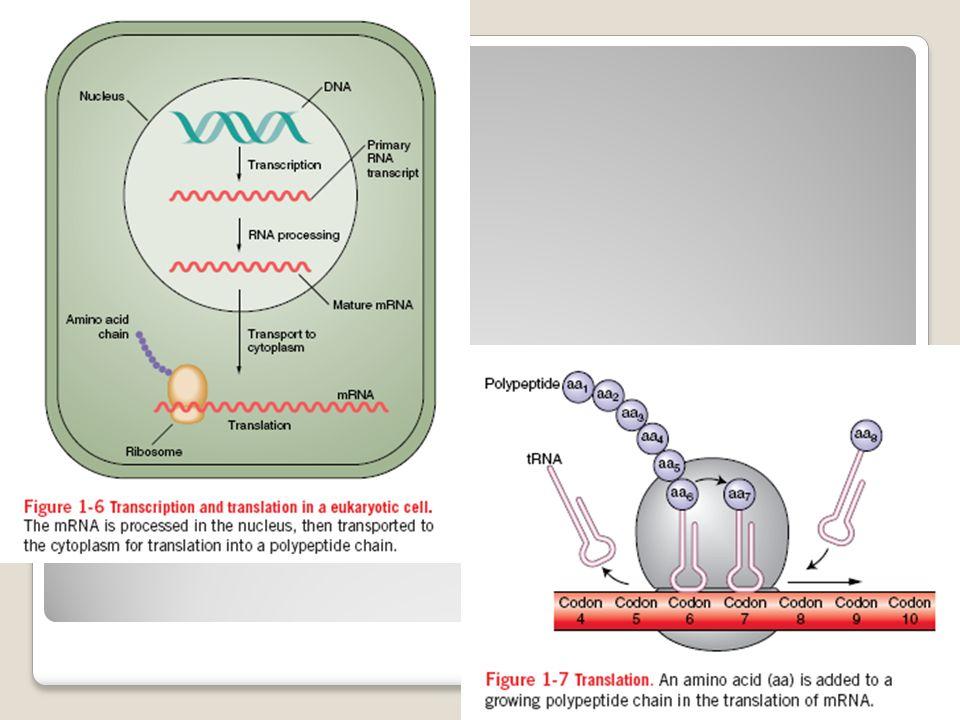 2. Forma képzés (transzkripció – transzláció) A struktúrák, amelyek felépítik a szervezetet, mind valamilyen anyagból, szubsztanciából állnak. Ezen an