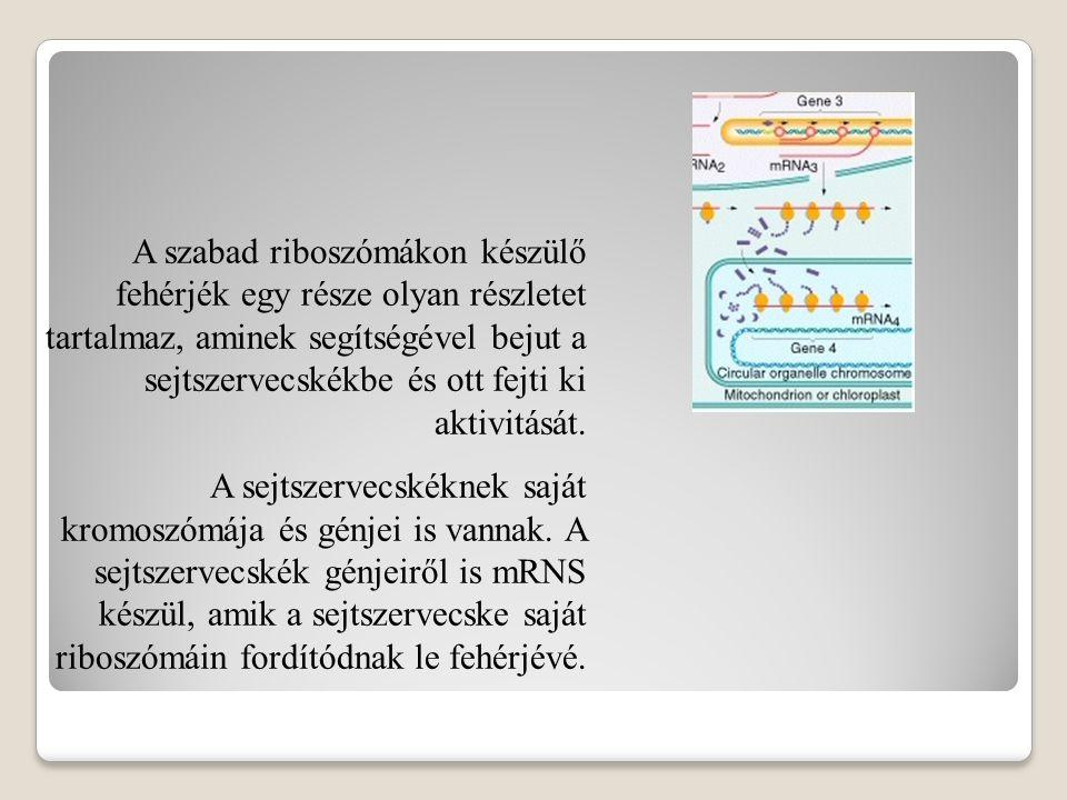 A kromoszómák egyes szakaszai génként működnek.