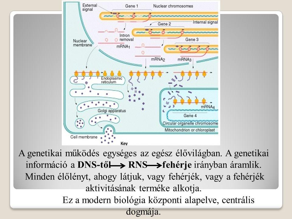 Az endoplazmás retikulumhoz kapcsolódó mRNS-ekről készülő fehérjék bejutnak a retikulum üregébe.