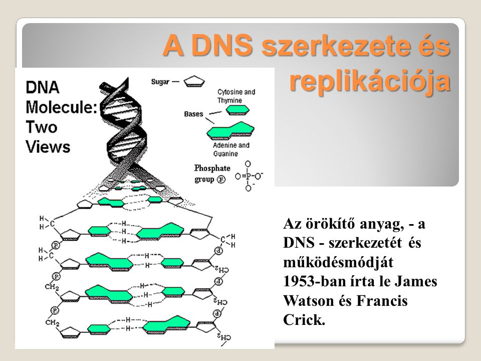 A sarlósejtes vérszegénység fenotípusának kialakulása Apró változás a hemoglobin gén DNS-ében hemoglobin A helyett hemoglobin S fehérje képződik A hS molekulák kristályszerűen kicsapódnak a vörösvértestekben Alacsony oxigén koncentráció a környezetben A vörösvértestek alakja sarlószerűvé változik A vértestek szétesnek Keringési zavarok A vértestek elakadnak a lépben vesebetegség vérszegénység gyengeség szívprobléma agykárosodás egyéb szervek károsodása reuma lépkárosodás mentális betegség tüdőgyulladás