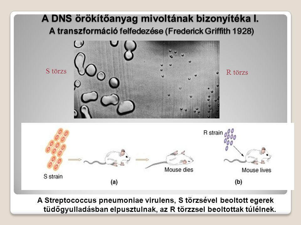 A DNS szerkezete és replikációja Az örökítő anyag, - a DNS - szerkezetét és működésmódját 1953-ban írta le James Watson és Francis Crick.