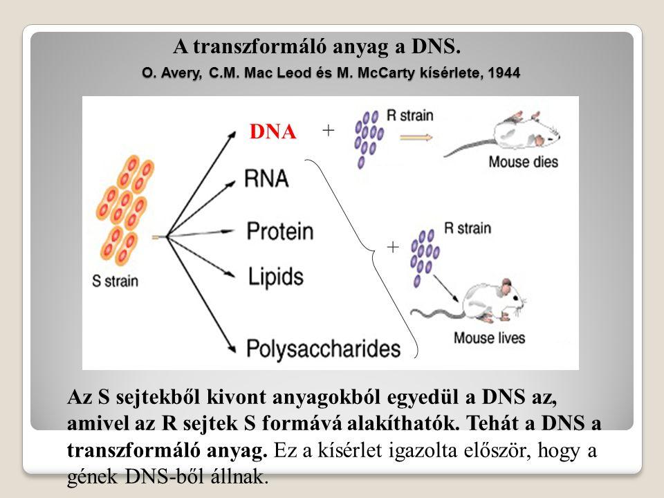 A transzformáció felfedezése A hővel kezelt S törzs nem pusztítja el az egereket.