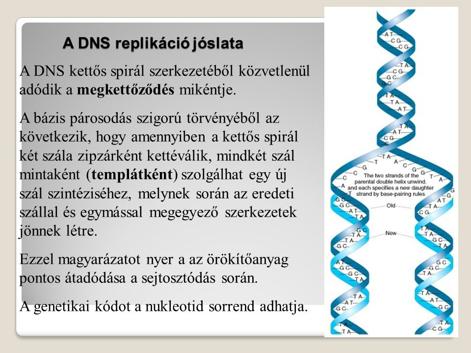 A replikáció problémái: 1., Sokszor: Egyetlen ember egyedfejlődése több millió sejtosztódást igényel.