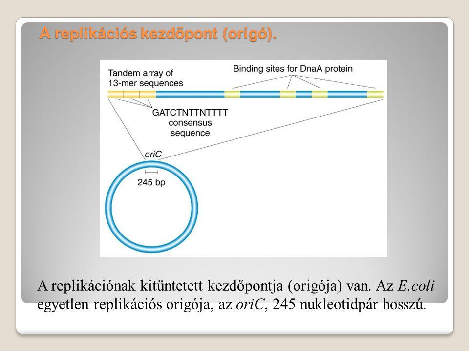 A DNS replikáció jóslata A DNS kettős spirál szerkezetéből közvetlenül adódik a megkettőződés mikéntje.