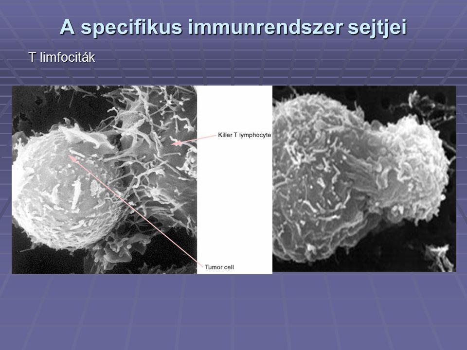 A specifikus immunrendszer sejtjei T limfociták