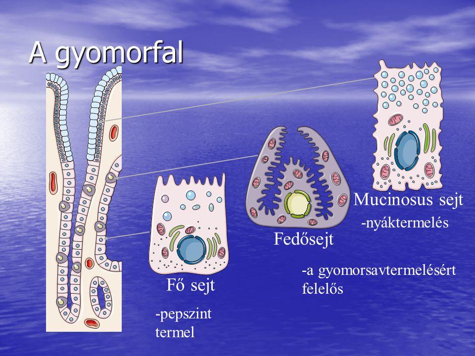 A gyomorfal Fő sejt Fedősejt Mucinosus sejt -pepszint termel -a gyomorsavtermelésért felelős -nyáktermelés