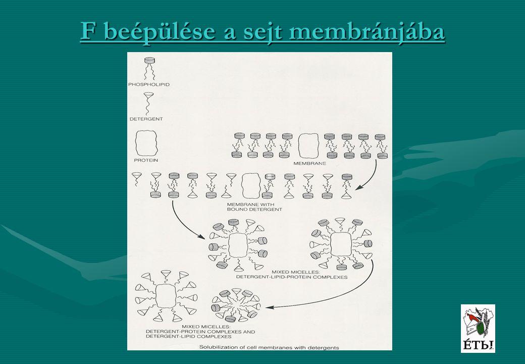 3 F beépülése a sejt membránjába