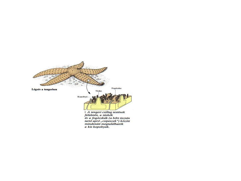 3.ábra: Csontos hal kopoltyúja 1 K özvetlenül a bőr alatt futnak a véredények – bőrlégzés.