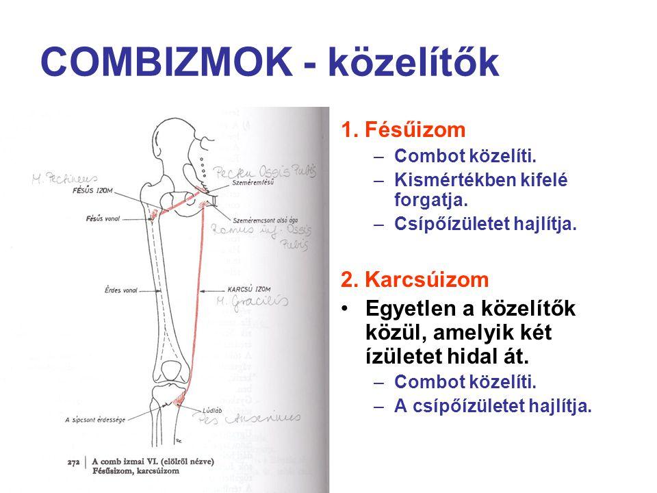 COMBIZMOK - közelítők 1. Fésűizom –Combot közelíti. –Kismértékben kifelé forgatja. –Csípőízületet hajlítja. 2. Karcsúizom Egyetlen a közelítők közül,