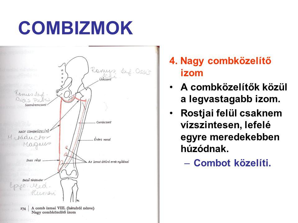 COMBIZMOK 4. Nagy combközelítő izom A combközelítők közül a legvastagabb izom. Rostjai felül csaknem vízszintesen, lefelé egyre meredekebben húzódnak.